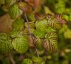 Ветвь малины